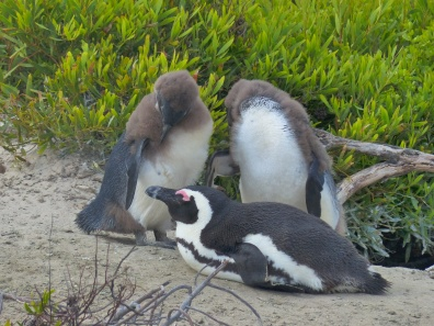 Young penguins